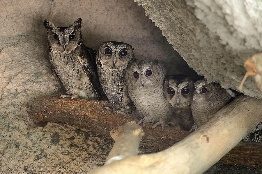 節能省碳保護自然環境,就是愛護野生動物最基本的方法(領角鴞)。(台北市立動物園提供)