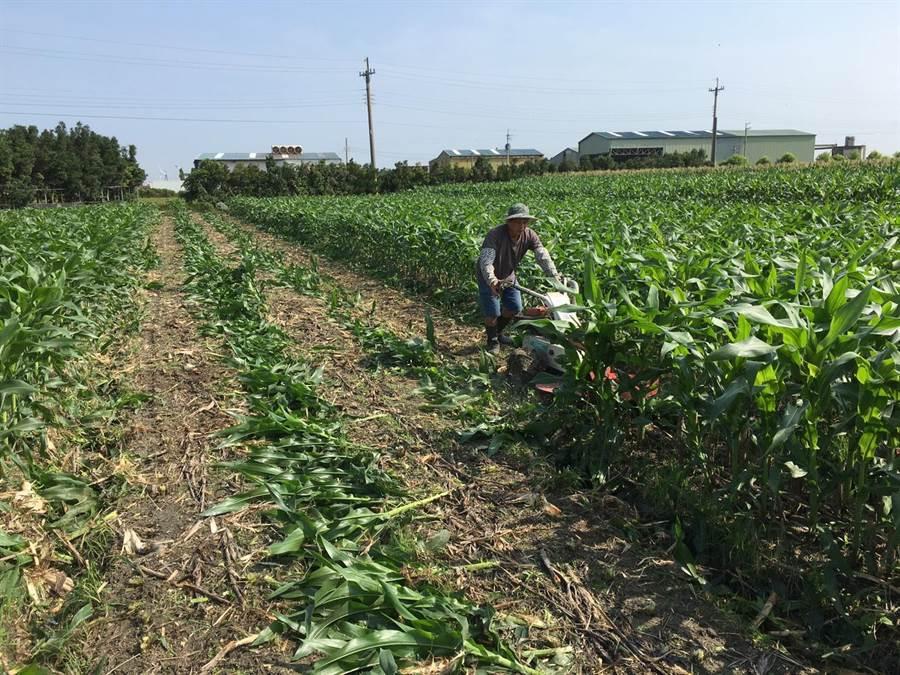 農業局今日上午啟動撲滅作業,砍除玉米植株現場集中管制,將於兩日內全數現地焚化銷毀。(陳世宗翻攝)