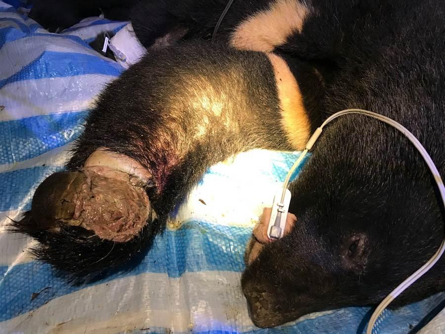 花蓮卓溪鄉一頭斷掌黑熊日前又受困陷阱,左手臂已經長蛆發臭。(翻攝黑熊保育協會)