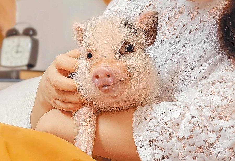 日本mipig cafe咖啡館的迷你豬。(摘自mipig cafe網站)
