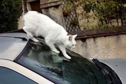 貓在愛車上開趴 女車主傻眼求助