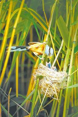 震旦鴉雀築巢濕地公園 育幼雛