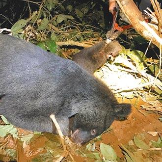 黑熊困陷阱3天 傷口長蛆發臭