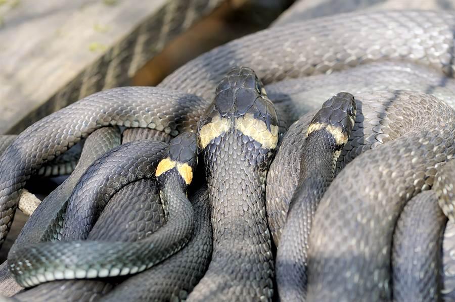 花園驚見巨蟒 洞中拉出29條小蛇(示意圖/達志影像)