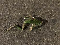 三峽大豹溪好山好水 沿線北114、115鄉道卻淪為蛙類殺戮戰場