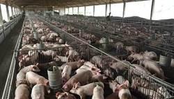 華為案延燒 陸嚴格檢測加豬瘦肉精