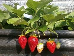 大湖草莓病害農損  救援品種「戀香」來了