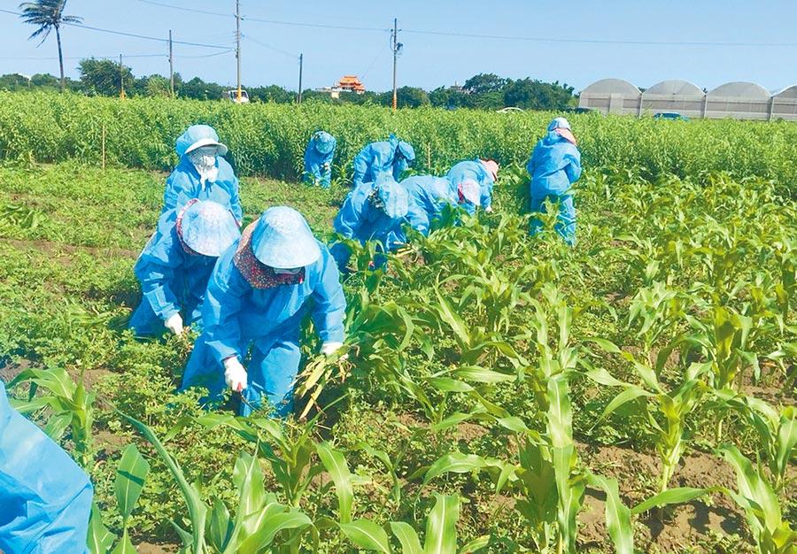 雲林秋行軍蟲直到17日確定案件12例,為全台最多,防疫人員銷毀染蟲的玉米後,在地挖3米深掩埋。(許素惠翻攝)