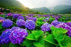 陽明山繡球花祭登場  手作派對即日起報名