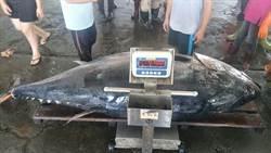 今年最大鮪入港 410公斤重破紀錄