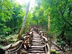 大坑5-1號登山步道完成整建  季節限定「大丁黃」盛開中