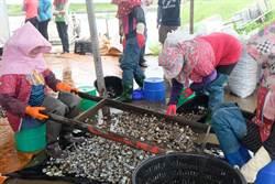 文蛤收成率不到3成 漁民盼找出原因協助改善