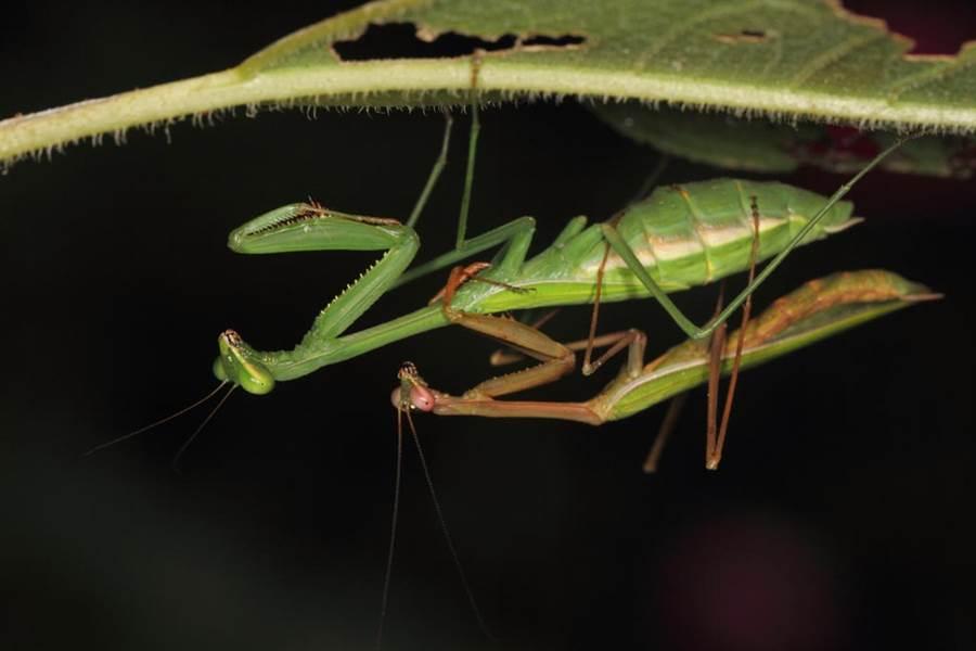 愛愛被伴侶吃掉 公螳螂下身繼續啪(圖/達志影像)