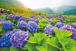 陽明山繡球花祭 有優惠