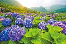 繡球花祭登場 賞花泡湯享優惠
