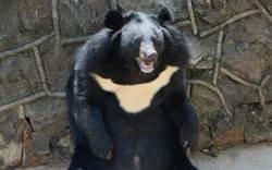 台灣黑熊闖入小學校園 林務局:不意外