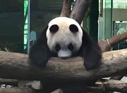 動物園「不對外開放」!保育員忙翻!圓仔耍廢伸懶腰