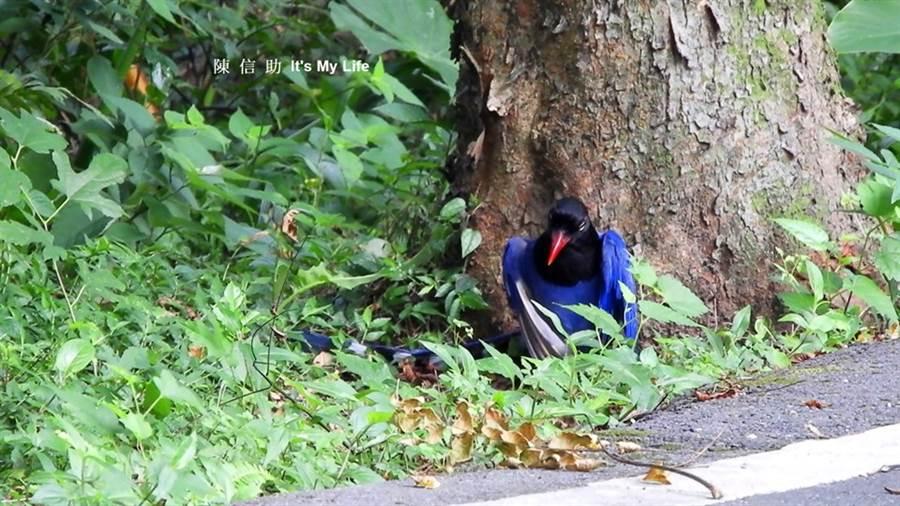 台灣藍鵲洗蟻浴珍貴畫面曝光。(翻攝陳信助臉書)