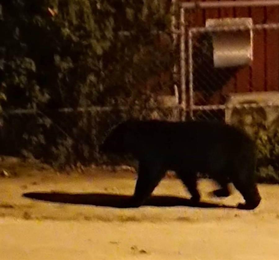替代役男拍下台灣黑熊身影。(楊漢聲翻攝)