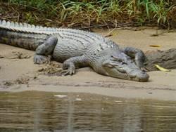 剖開鱷魚肚見人腿 居民:他觸犯禁忌
