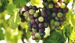 葡萄營養多 醫曝這種顏色最抗老