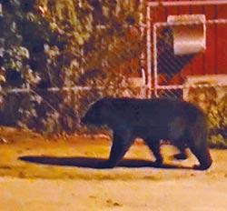 台灣黑熊闖校園 替代役男驚呆了