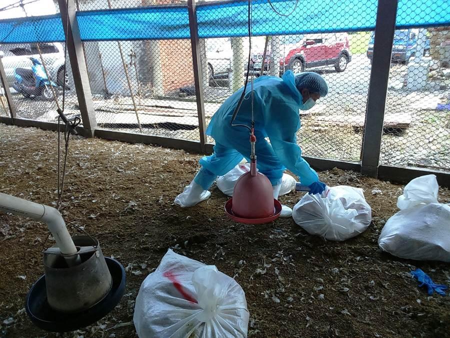彰化縣動物防疫所人員22日至芳苑鄉一處養雞場進行撲殺。(謝瓊雲翻攝)