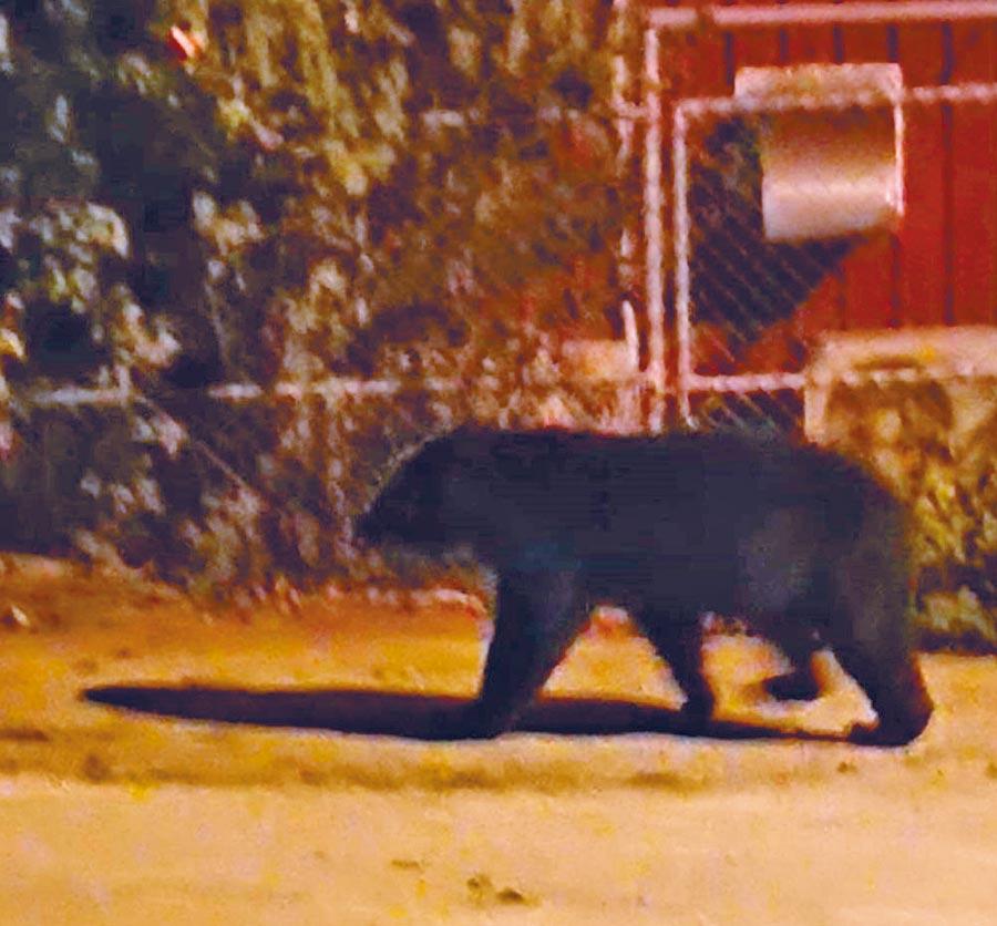1隻台灣黑熊闖入台東霧鹿國小,被替代役男拍下黑熊「逛大街」身影。(楊漢聲翻攝)