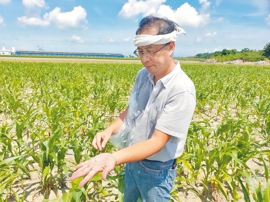 雲林元長後湖玉米田發現秋行軍蟲,台南農改場研究員陳升寬抓出1隻幼蟲。(許素惠攝)