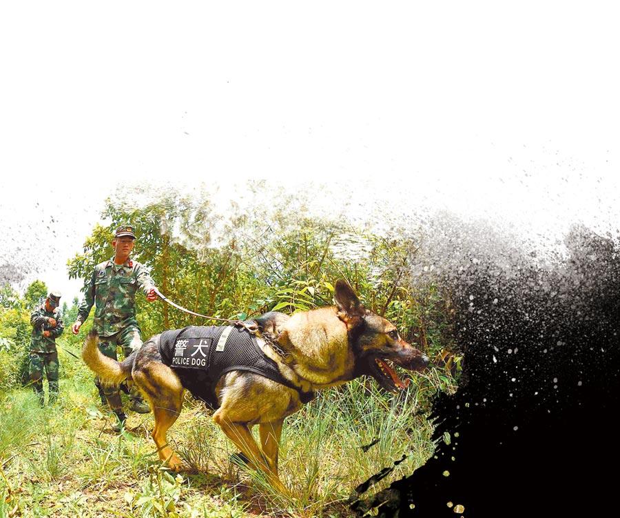 中緬邊境,緝毒犬在訓導員的帶領下進行搜索訓練。(新華社資料照片)