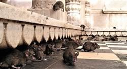 白金漢宮鼠患嚴重 英女王都被嚇到