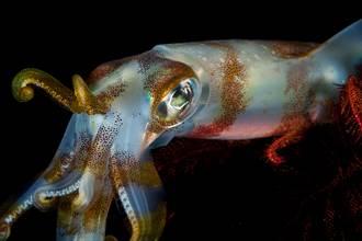 科學家找7年!神秘海怪大王魷現蹤