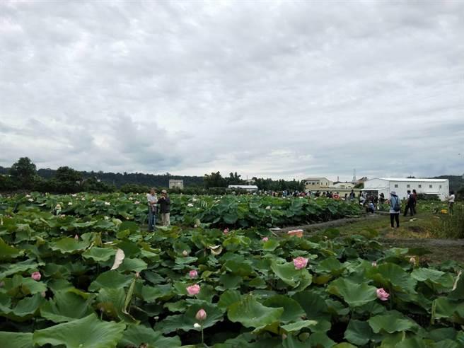 中社花市2000多坪的萬朵荷花盛開,預計花期將至8月底。(陳淑娥攝)