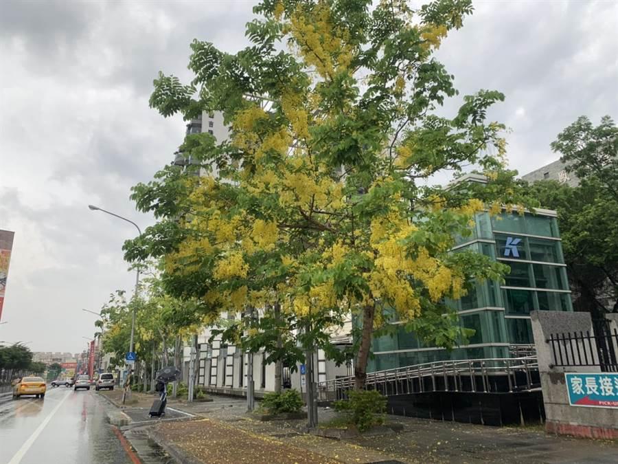 高雄市區6月初也曾傳出豬屎異味,當時環保局解釋是阿勃勒樹開花的味道。(高市環保局提供)