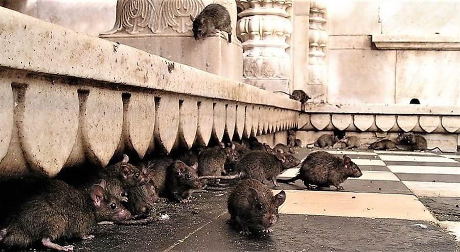 白金漢宮一直被老鼠所困擾,而且老鼠愈來愈有抗藥性。(圖/網路)