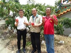 南化小崙里產銷班愛文芒果品質佳 銷日被稱「太陽果」