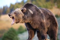登山遇熊狂攻擊 女友機智一招救他