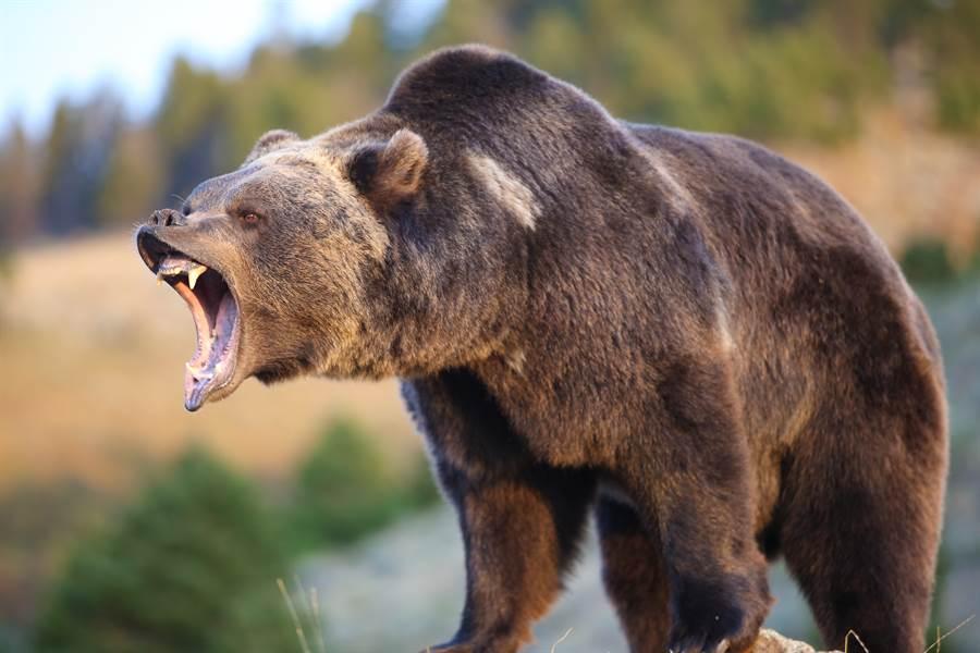 登山遇熊狂攻擊 女友機智一招救他(示意圖/達志影像)