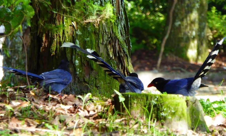 ▲自然生態資源豐富的仁愛鄉奧萬大國家森林遊樂區經常可見臺灣藍鵲在園區內覓食。(南投林管處提供)
