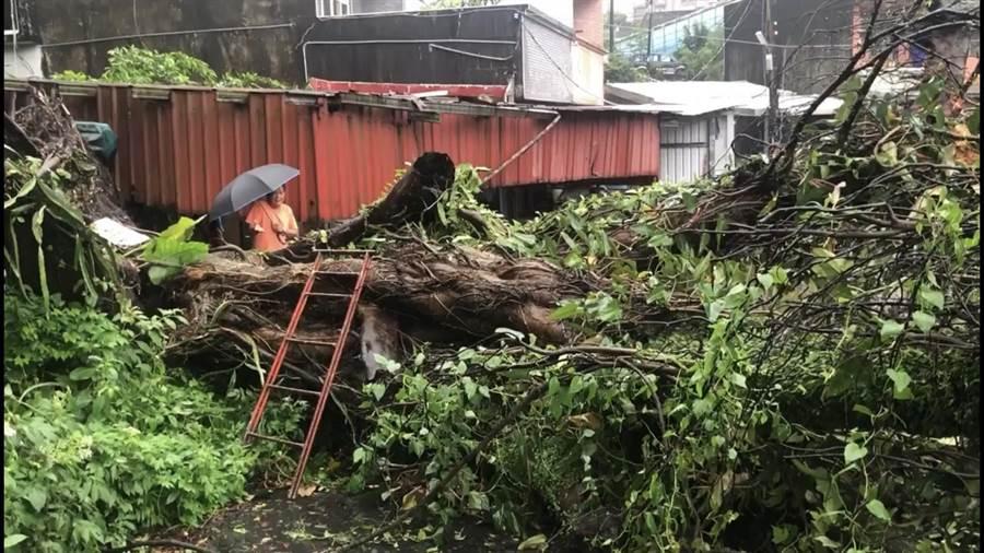 基隆市東光路一棵300年歷史的老榕樹,今(24)日凌晨12時許,因大雨倒塌,導致8戶人家無法進出。(張穎齊翻攝)
