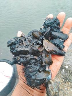 淡菜入侵 台西文蛤減產