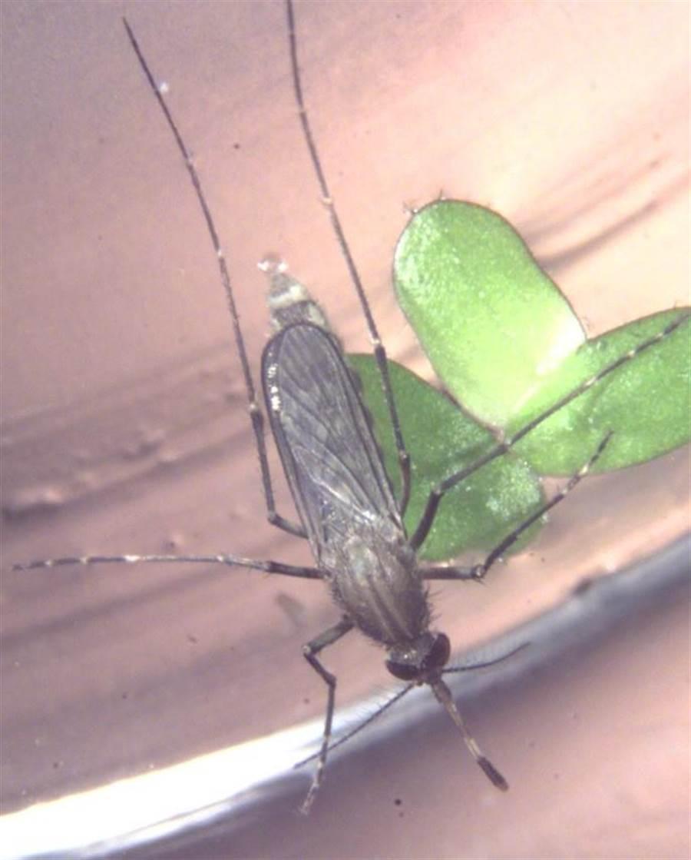三斑家蚊是傳播日本腦炎的病媒蚊之一,民眾應做好防蚊措施。(疾管署提供)