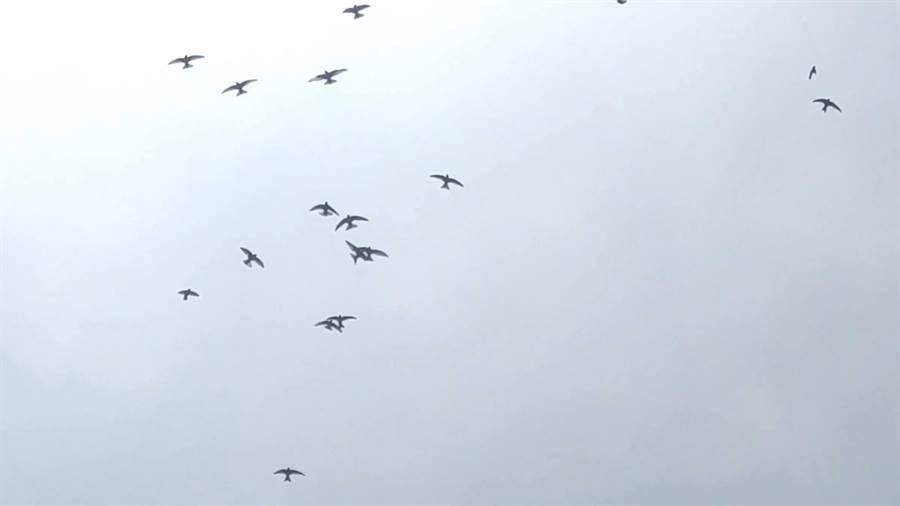 基隆嶼生態豐富,基隆野鳥學會常務理事沈錦豐近期就拍到,成群的「叉尾雨燕」在基隆嶼的空中舉辦「交配派對」。(沈錦豐提供)