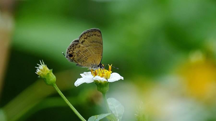 基隆野鳥學會常務理事沈錦豐在基隆嶼拍到的上千隻蝴蝶中,以波灰蝶為最大宗,約占8成。(沈錦豐提供)