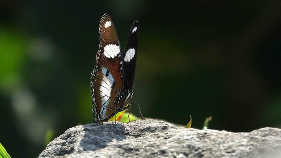 基隆野鳥學會常務理事沈錦豐在基隆嶼拍到珍貴的「雌擬幻蛺蝶」,是基隆嶼的新紀錄種。(沈錦豐提供)