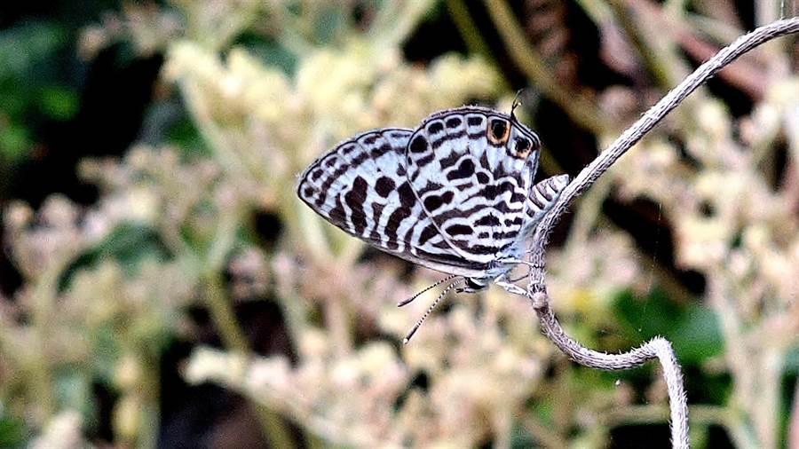 基隆野鳥學會常務理事沈錦豐在基隆嶼拍到珍貴的「細灰蝶」,也是基隆的新紀錄種。(沈錦豐提供)