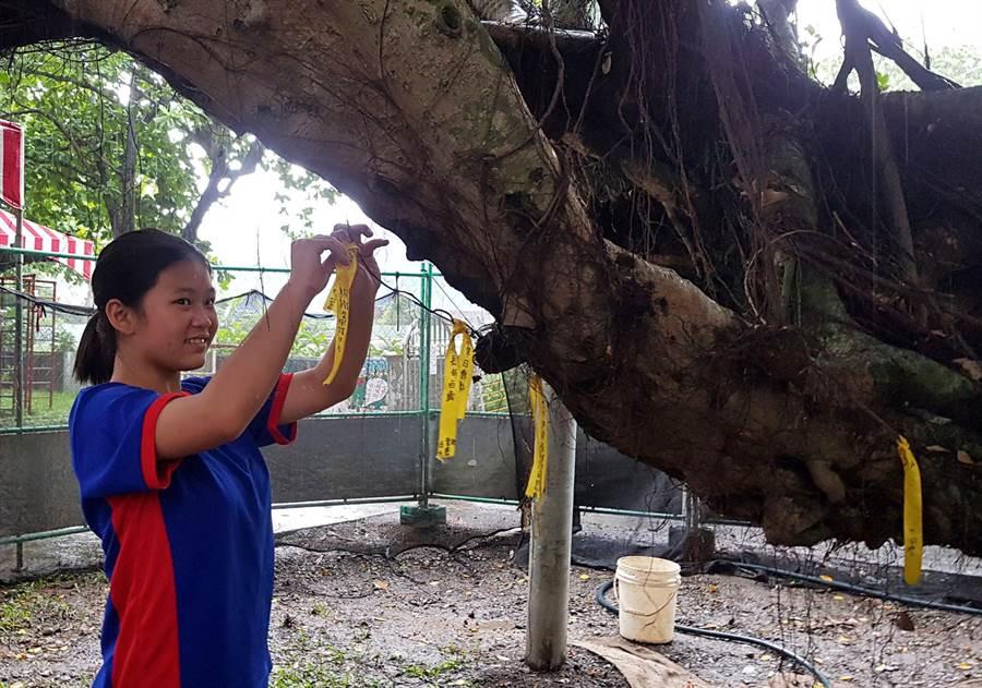 里港国小学生透过黄丝带为染病的老榕树祈福。