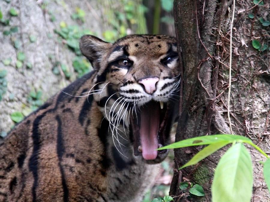 動物醫生團隊非常重視「預防勝於治療」,從10幾年前就開始推動全園動物的健檢(雲豹「Suki」郭俊成攝) 。(台北市立動物園提供)