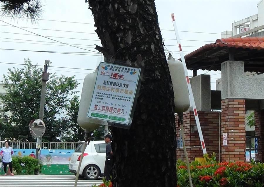 永興國小校門口的百年老黑松生病了,師生請來樹醫師進行搶救,樹幹上目前還吊掛著兩瓶點滴,要防治松材線蟲。(謝瓊雲攝)