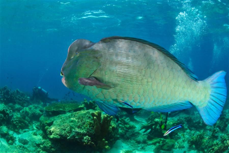 圖為大嘴水牛魚(圖片取自/達志影像)